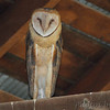 Barn Owl <br /> Maintz Wildlife Preserve