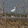 Snowy Egret <br /> Ten Mile Pond CA