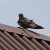 Common Nighthawk <br /> East Prairie Missouri