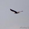 Bald Eagle <br /> Otter Slough Conservation Area