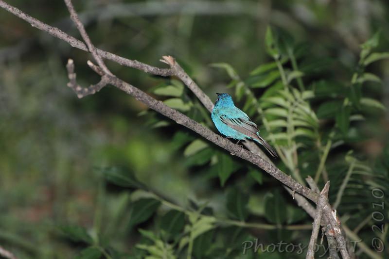 Indigo Bunting <br /> Crowley Ridge Conservation Area