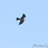 Mississippi Kite <br /> Big Oak Tree State Park