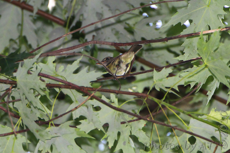 Red-eyed Vireo <br /> Big Oak Tree State Park