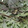 Red-eyed Vireo <br /> Big Oak Tree State Park