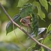 Great Crested Flycatcher <br /> Big Oak Tree State Park