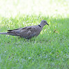 Eurasian Collared-Dove <br /> East Prairie Missouri
