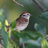Chipping Sparrow <br /> Rest stop Hwy 55