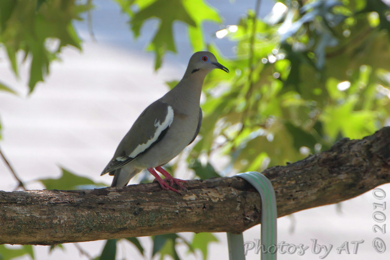 White-winged Dove <br /> East Prairie Missouri