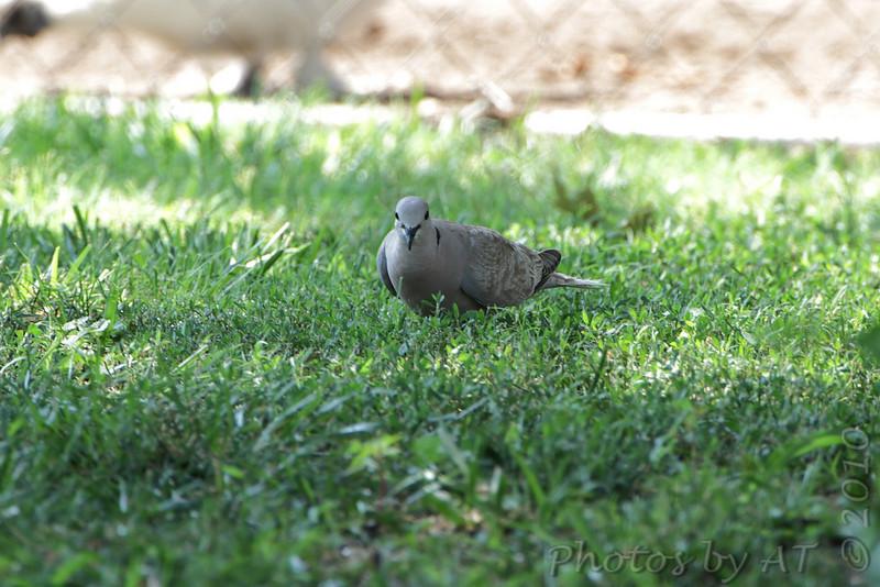 Eurasian Collared-Dove <br /> East Prairie Missouri