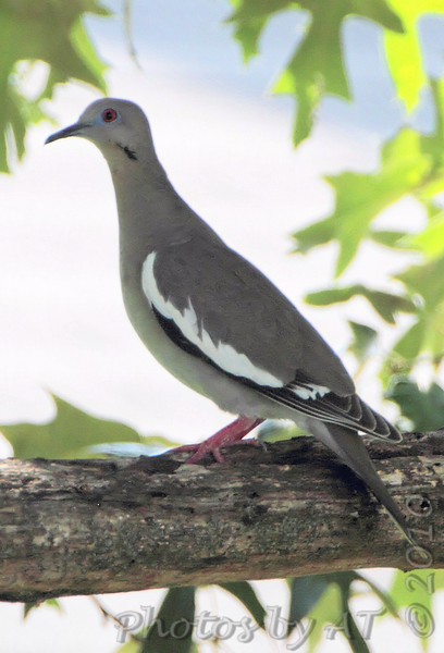 White-winged Dove <br /> East Prairie Missouri