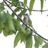Olive_sided Flycatcher<br /> Big Oak Tree State Park