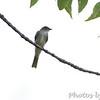 Olive_sided Flycatcher <br /> Big Oak Tree State Park