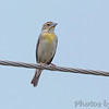 Dickcissel <br /> Fee Fee Road just South of McDonnell Blvd. <br /> Hazelwood, Missouri