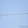 Western Kingbirds <br /> Fee Fee Road just South of McDonnell Blvd. <br /> Hazelwood, Missouri