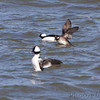Bufflehead <br /> Riverlands Migratory Bird Sanctuary