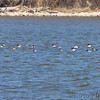 Canvasbacks <br /> Riverlands Migratory Bird Sanctuary