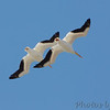 American White Pelicans <br /> Riverlands Migratory Bird Sanctuary