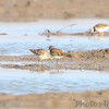 "Dowitcher sp and Killdeer   <br /> Edward ""Ted"" and Pat Jones-Confluence Point State Park"