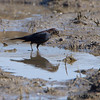 "Rusty Blackbird <br /> Edward ""Ted"" and Pat Jones-Confluence Point State Park"
