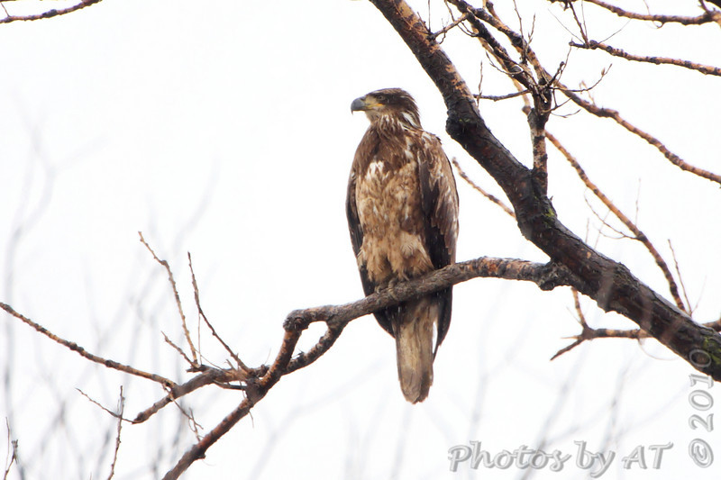 Bald Eagle <br /> State line tree below spillway <br /> Riverlands Migratory Bird Sanctuary