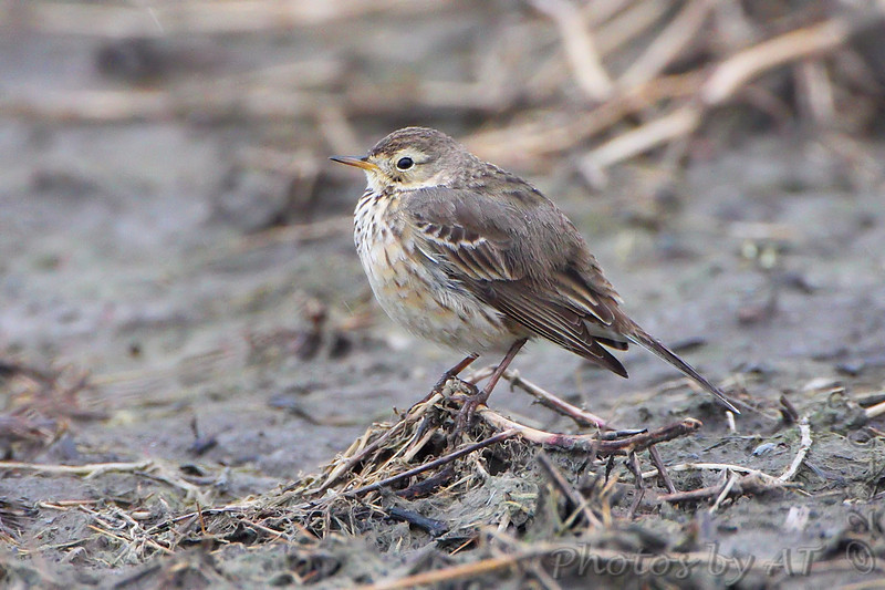 American Pipit <br /> Confluence Point Road