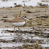Killdeer <br /> Columbia Bottom Conservation Area