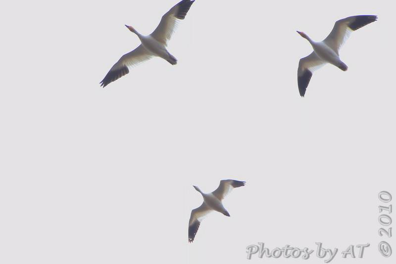 Snow Geese <br /> One Ross's Goose?<br /> Cora Island Road