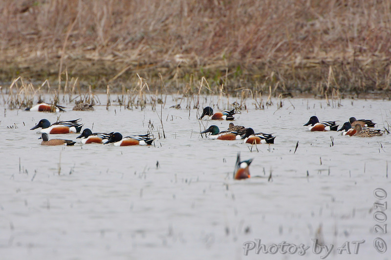 Northern Shoveler and Blue-winged Teal <br /> Columbia Bottom Conservation Area