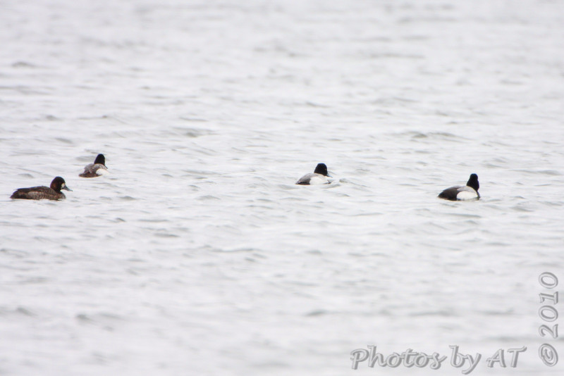 Lesser Scaup <br /> Columbia Bottom Conservation Area