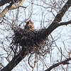 Great Horned Owl <br /> Viewed from Lake 8 parking lot <br /> 500mm + 1.4x <br /> August A Busch Memorial Conservation Area <br /> St. Charles County, Missouri