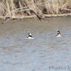 Bufflehead <br /> Viewed from Lake 8 parking lot <br /> August A Busch Memorial Conservation Area <br /> St. Charles County, Missouri