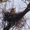 Great Horned Owl <br /> Viewed from Lake 8 parking lot <br /> 500mm + 2x + 1.4x<br /> August A Busch Memorial Conservation Area <br /> St. Charles County, Missouri