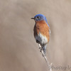 Eastern Bluebird <br /> August A Busch Memorial Conservation Area <br /> St. Charles County, Missouri
