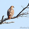 Red-tailed Hawk <br /> August A Busch Memorial Conservation Area  <br /> St. Charles County, Missouri