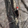 Pileated Woodpecker <br /> August A Busch Memorial Conservation Area <br /> St. Charles County, Missouri