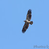 Juvenile Bald Eagle <br /> August A Busch Memorial Conservation Area <br /> St. Charles County, Missouri
