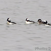 Bufflehead <br /> Horseshoe Lake Illinois