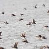 Ruddy Ducks <br /> Horseshoe Lake Illinois