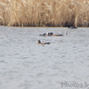 American Wigeon <br /> Horseshoe Lake Illinois