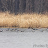 American Coot, Gadwall and American Wigeon <br /> Horseshoe Lake Illinois
