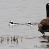 Bufflehead and Canada Goose <br /> Horseshoe Lake Illinois