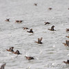 Ruddy Ducks <br /> Horseshoe Lake Illinois