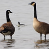 Bufflehead and Canada Geese <br /> Horseshoe Lake Illinois