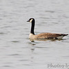 Canada Goose  <br /> Horseshoe Lake Illinois