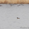 Pied-billed Grebe <br /> Horseshoe Lake Illinois