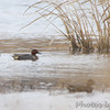 Green-winged Teal <br /> Horseshoe Lake Illinois