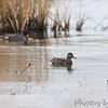 Green-winged Teal <br /> Horseshoe Lake Illinois