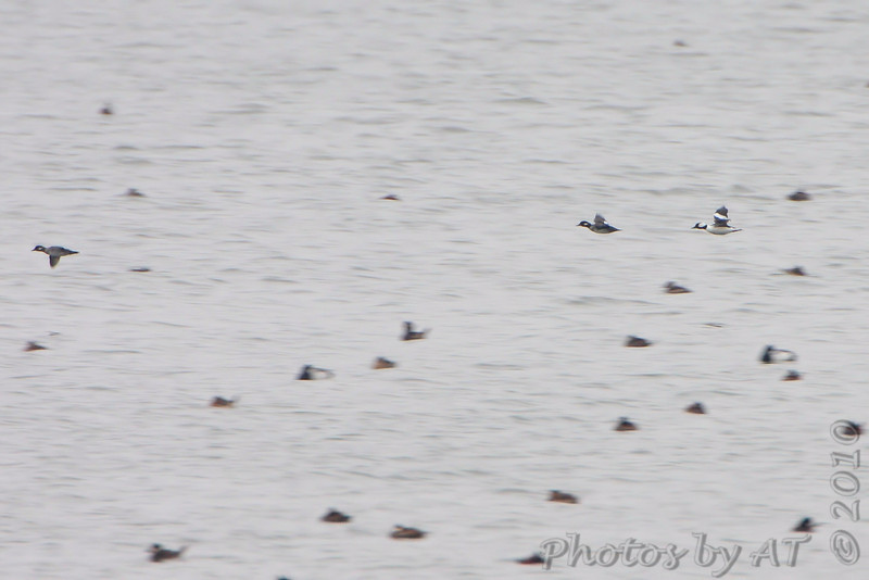 Bufflehead flying over Ruddy Ducks and Scaup  <br /> Horseshoe Lake Illinois