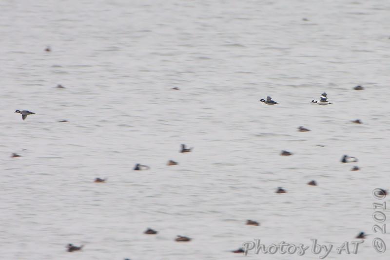 Bufflehead flying over Ruddy Ducks and Scaup  <br /> Horseshoe Lake Illinois