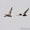 Northern Shoveler <br /> Horseshoe Lake Illinois